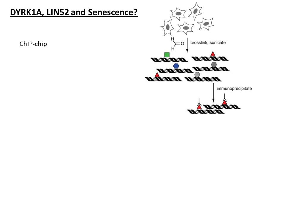 DYRK1A, LIN52 and Senescence