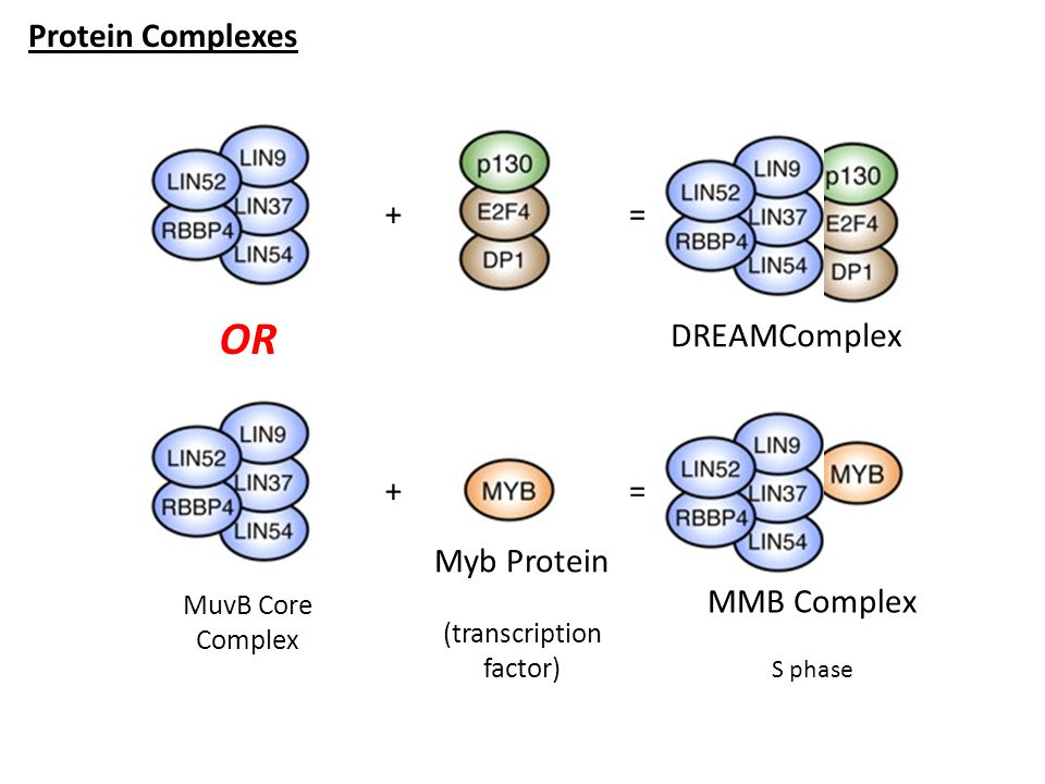 OR Protein Complexes + = DREAMComplex + = Myb Protein MMB Complex