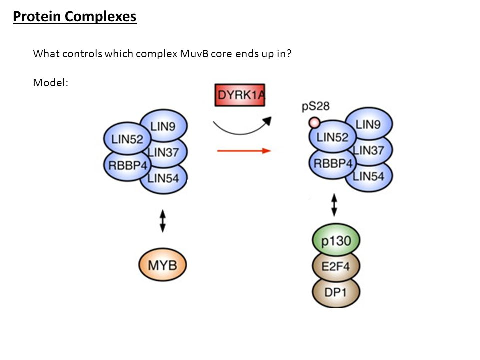Protein Complexes What controls which complex MuvB core ends up in