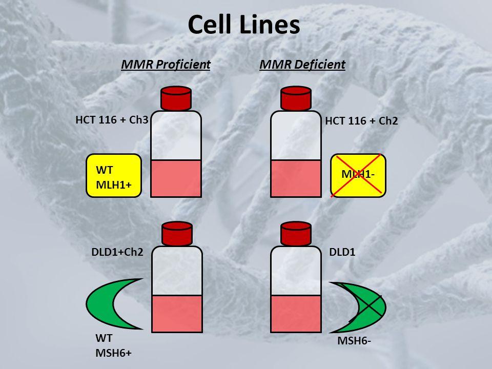 Cell Lines MMR Proficient MMR Deficient HCT 116 + Ch3 WT MLH1+