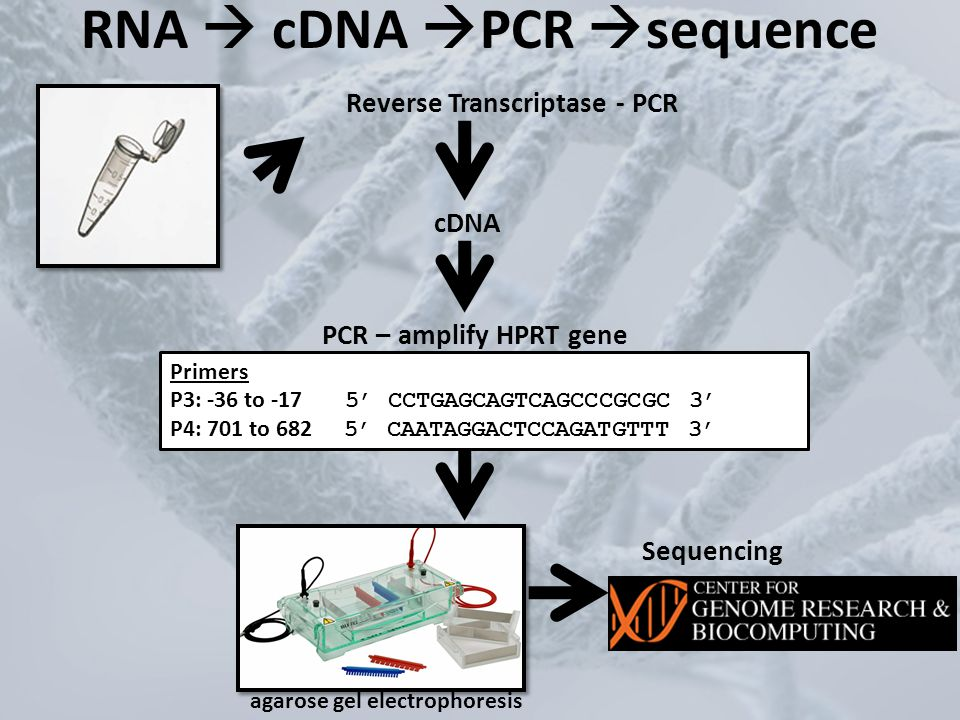 RNA  cDNA PCR sequence