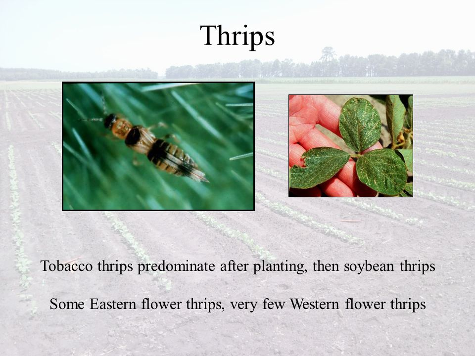 Thrips Tobacco thrips predominate after planting, then soybean thrips