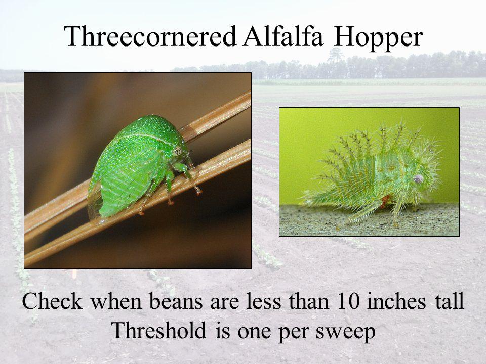 Threecornered Alfalfa Hopper
