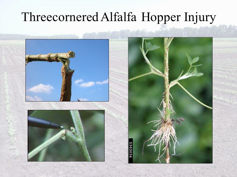 Threecornered Alfalfa Hopper Injury