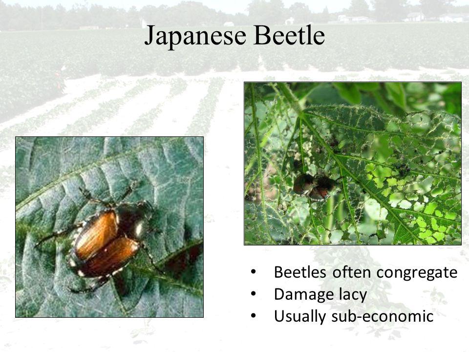 Japanese Beetle Beetles often congregate Damage lacy