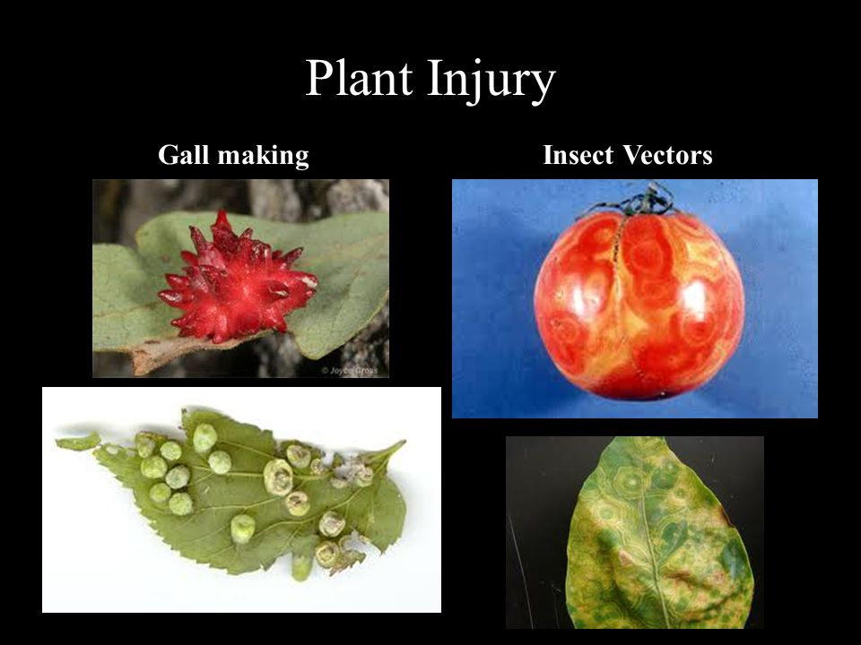 Plant Injury Gall making Insect Vectors