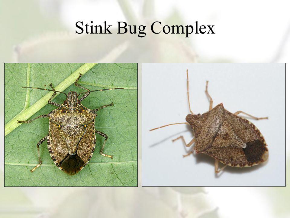 Stink Bug Complex