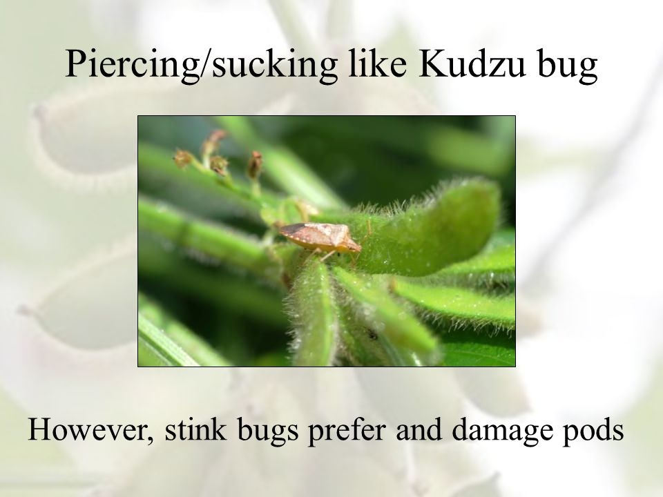 Piercing/sucking like Kudzu bug