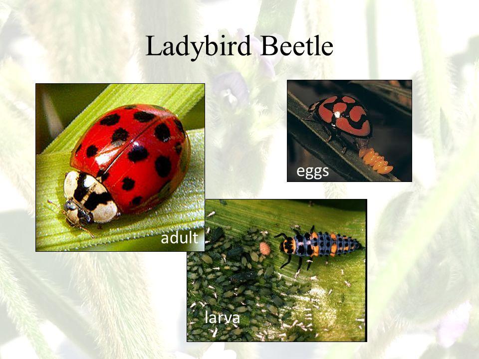 Ladybird Beetle eggs adult larva