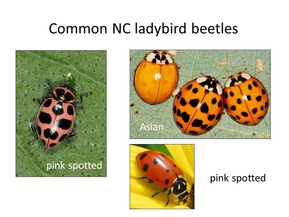 Common NC ladybird beetles