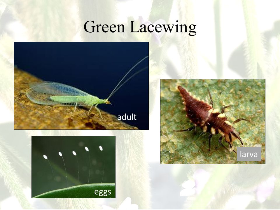 Green Lacewing adult larva eggs