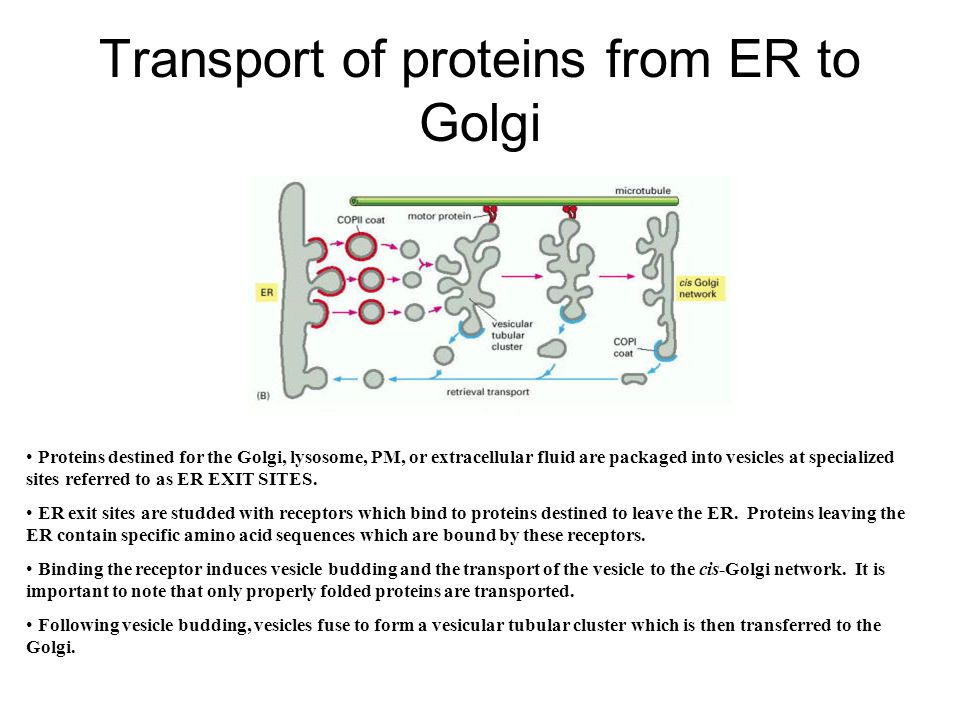 Transport of proteins from ER to Golgi