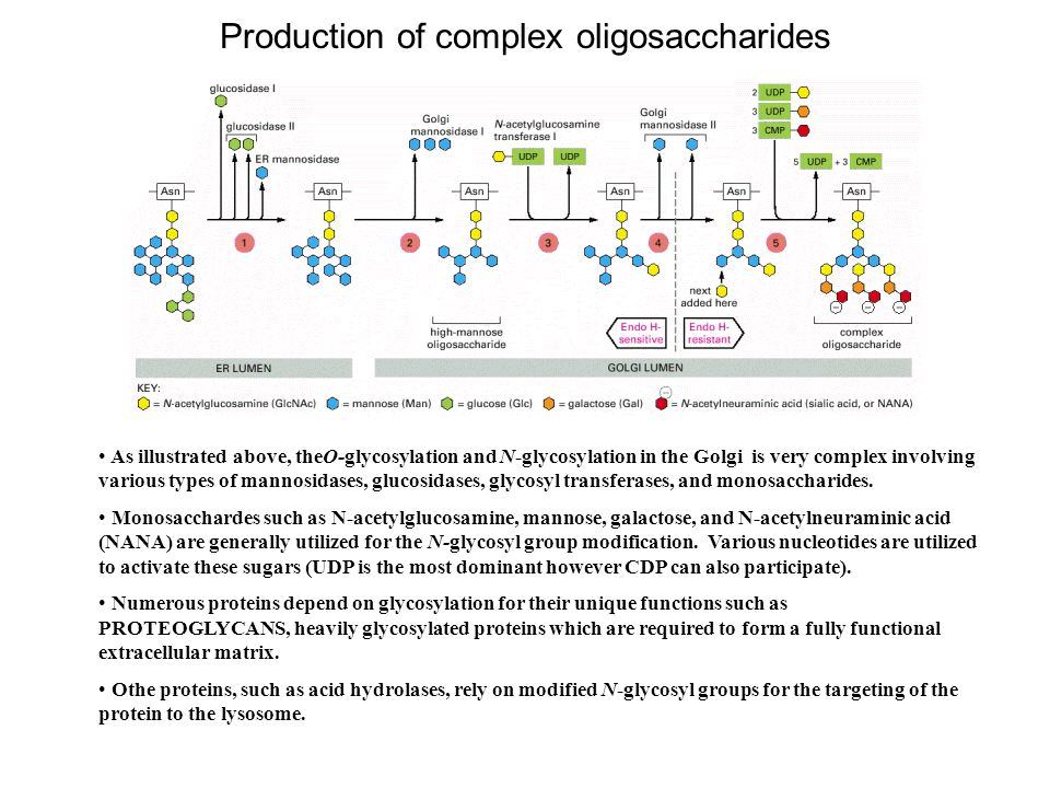 Production of complex oligosaccharides