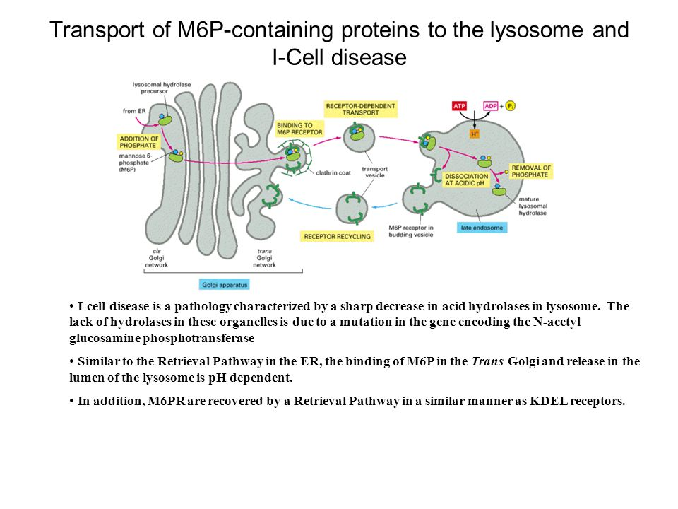 Transport of M6P-containing proteins to the lysosome and I-Cell disease
