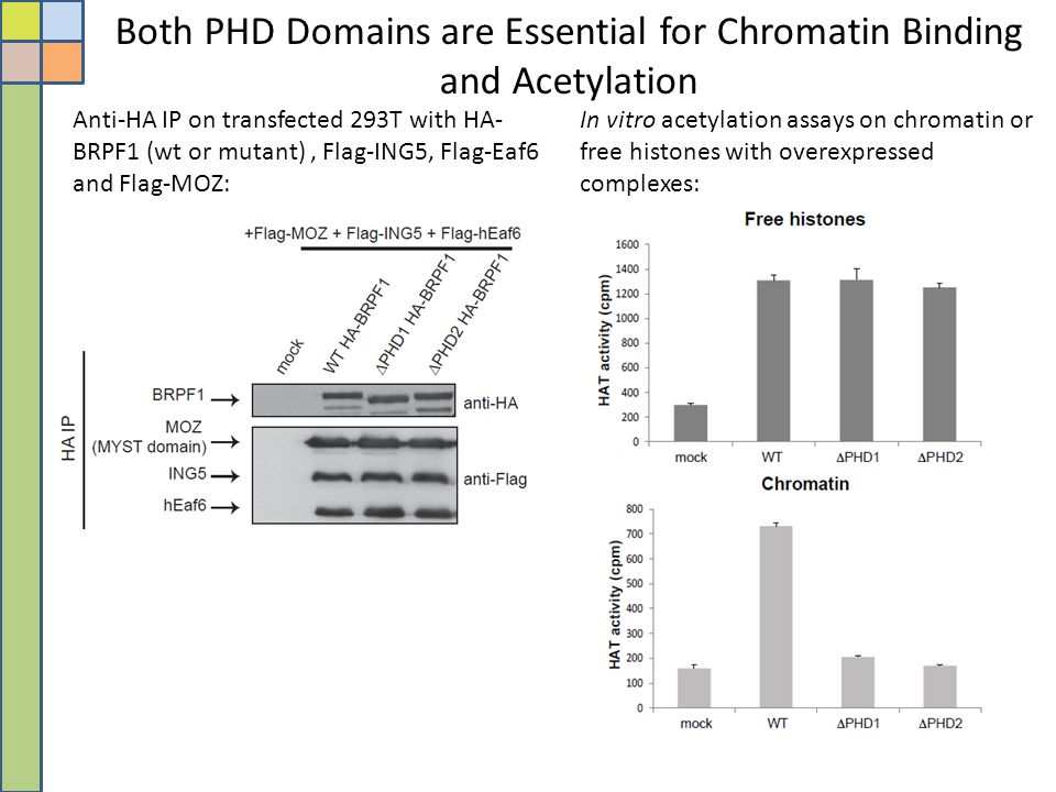 Both PHD Domains are Essential for Chromatin Binding and Acetylation
