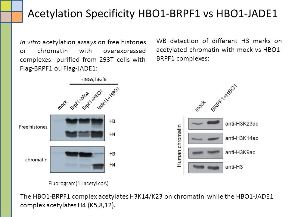 Acetylation Specificity HBO1-BRPF1 vs HBO1-JADE1