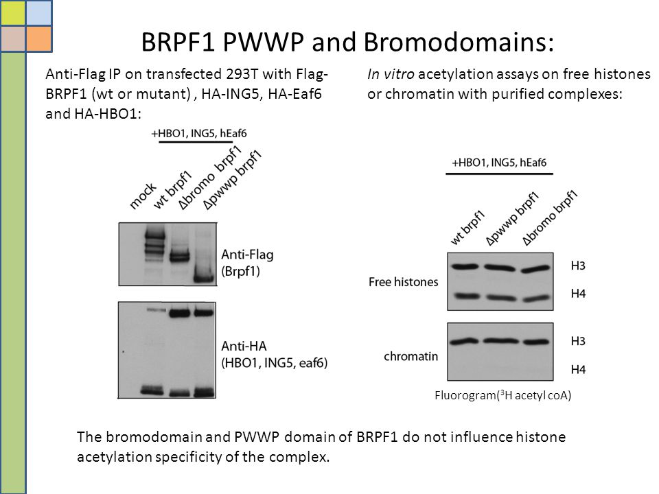 BRPF1 PWWP and Bromodomains: