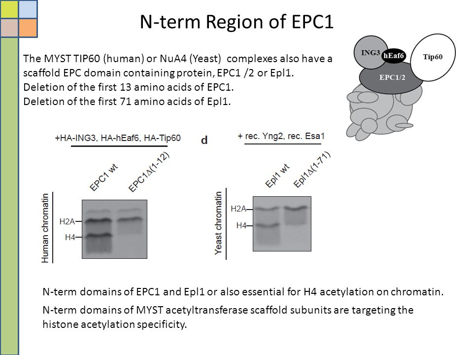 N-term Region of EPC1 The MYST TIP60 (human) or NuA4 (Yeast) complexes also have a scaffold EPC domain containing protein, EPC1 /2 or Epl1.