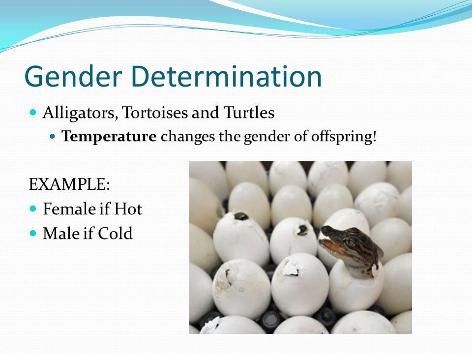 Gender Determination Alligators, Tortoises and Turtles EXAMPLE:
