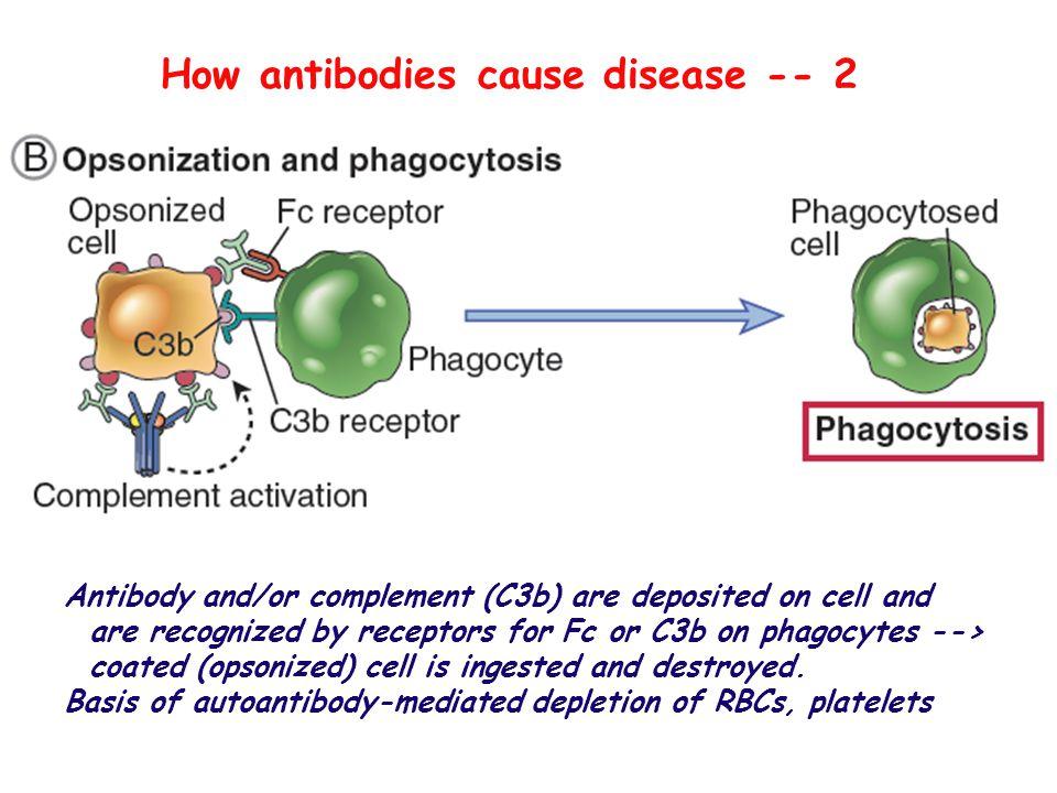 How antibodies cause disease -- 2