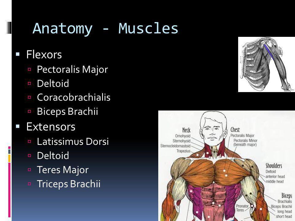 Anatomy - Muscles Flexors Extensors Pectoralis Major Deltoid