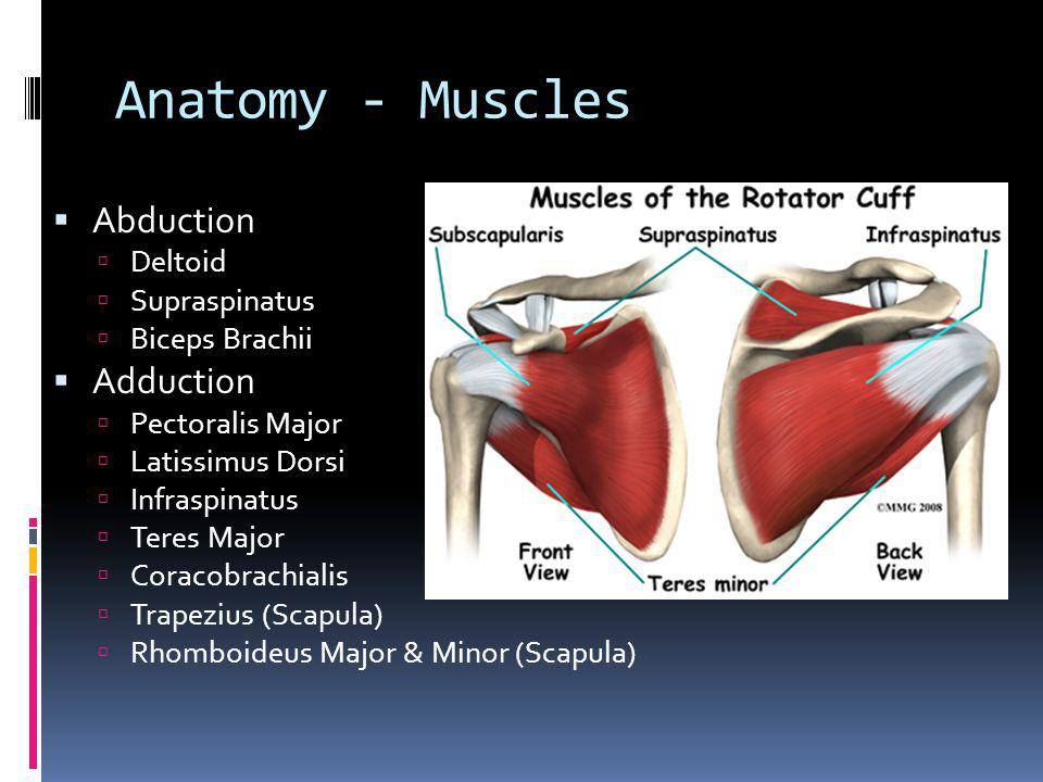 Anatomy - Muscles Abduction Adduction Deltoid Supraspinatus