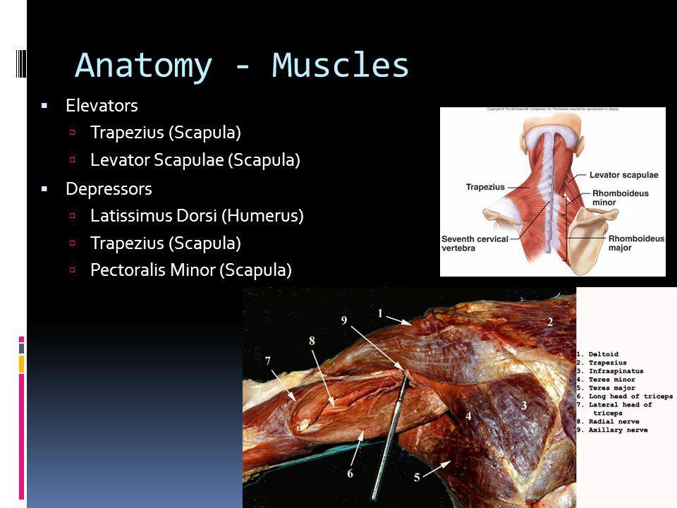 Anatomy - Muscles Elevators Trapezius (Scapula)