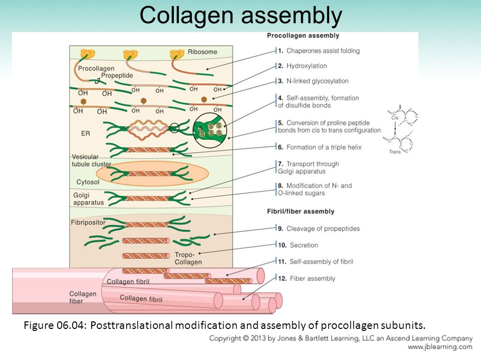 Collagen assembly Figure 06.04: Posttranslational modification and assembly of procollagen subunits.