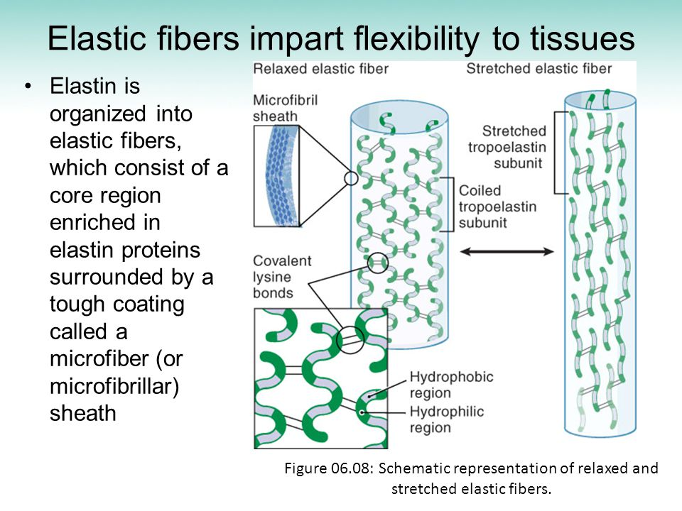 Elastic fibers impart flexibility to tissues