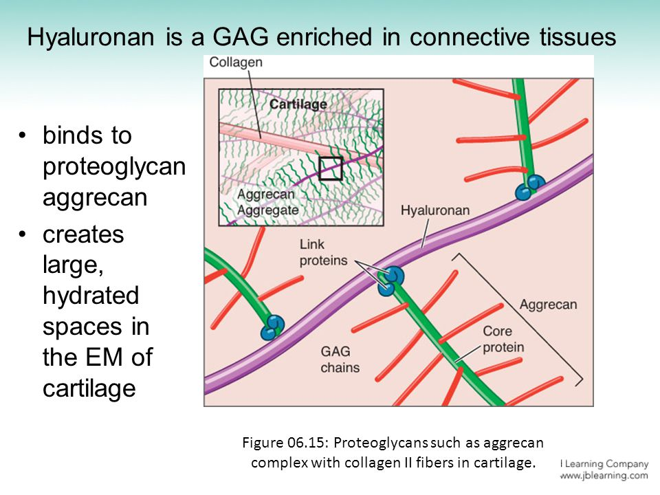 Hyaluronan is a GAG enriched in connective tissues