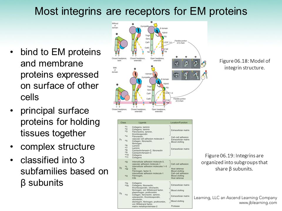 Most integrins are receptors for EM proteins