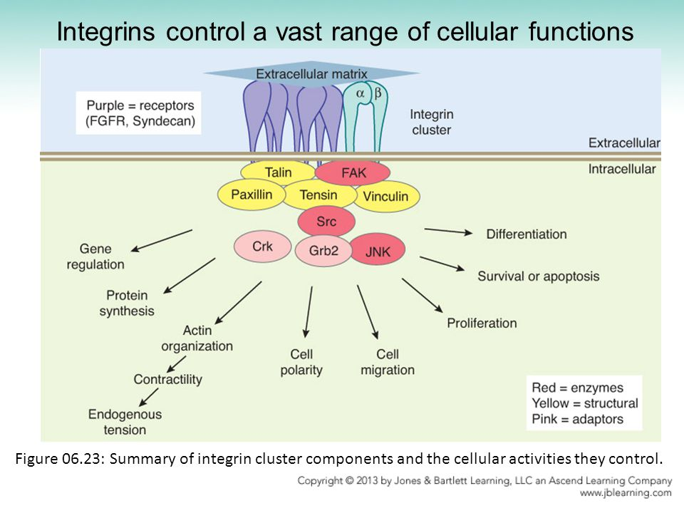 Integrins control a vast range of cellular functions