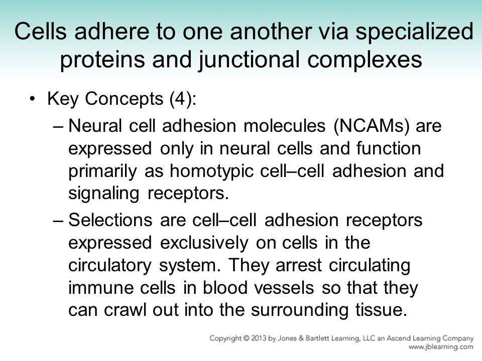 Cells adhere to one another via specialized proteins and junctional complexes