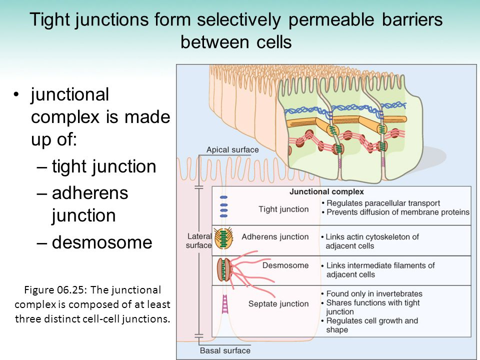 Tight junctions form selectively permeable barriers between cells