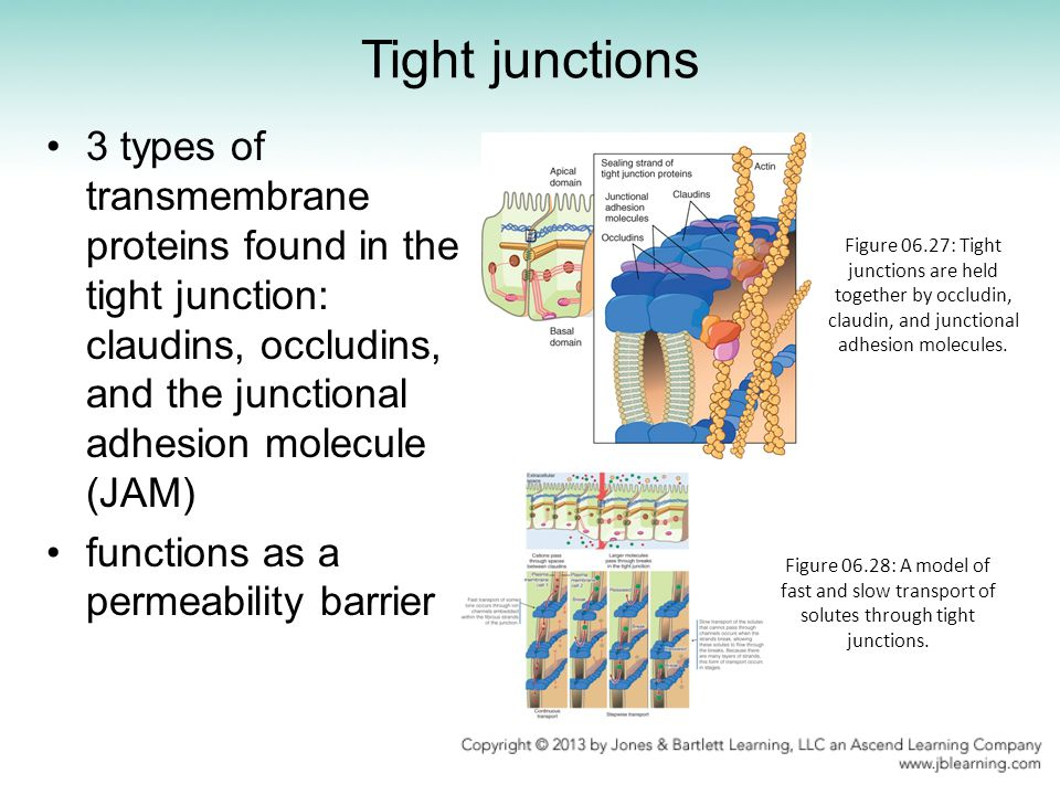 Tight junctions 3 types of transmembrane proteins found in the tight junction: claudins, occludins, and the junctional adhesion molecule (JAM)