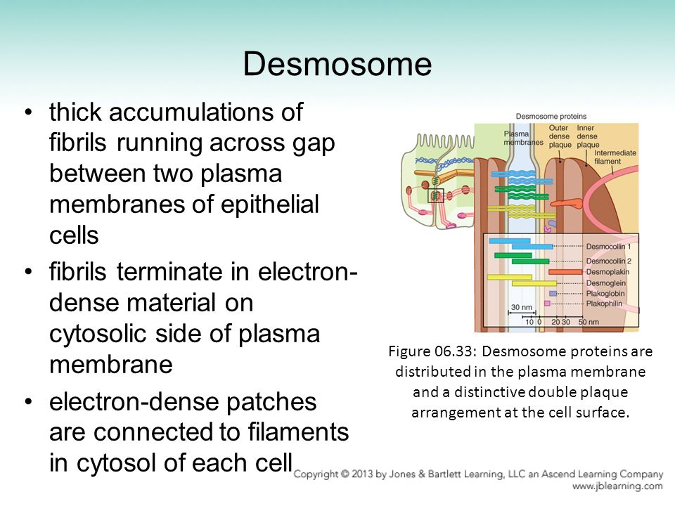 Desmosome thick accumulations of fibrils running across gap between two plasma membranes of epithelial cells.