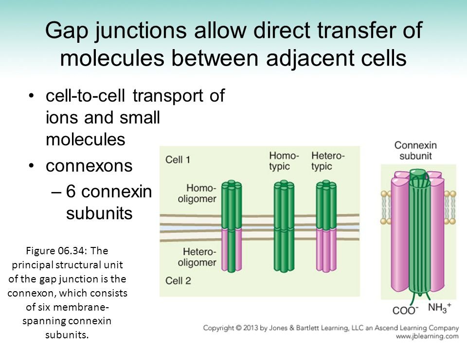 Gap junctions allow direct transfer of molecules between adjacent cells