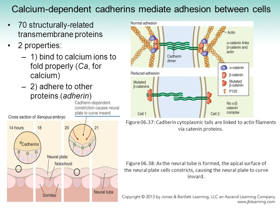 Calcium-dependent cadherins mediate adhesion between cells