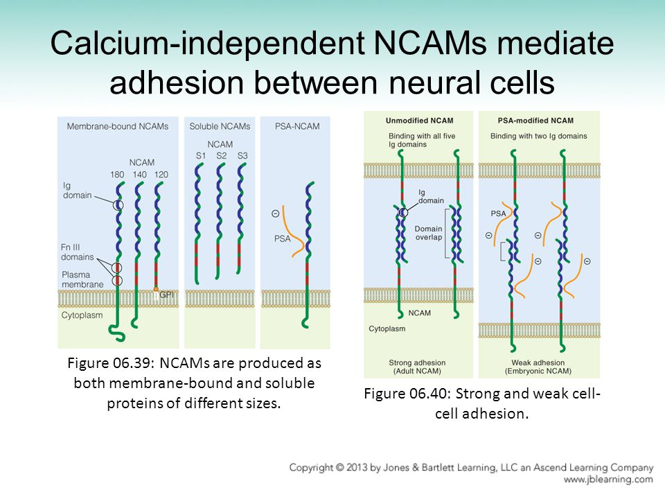 Calcium-independent NCAMs mediate adhesion between neural cells