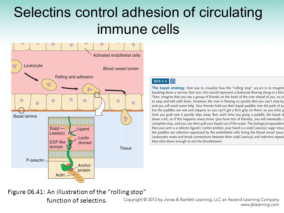Selectins control adhesion of circulating immune cells