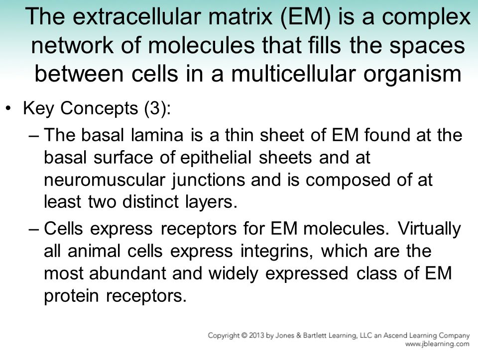 The extracellular matrix (EM) is a complex network of molecules that fills the spaces between cells in a multicellular organism