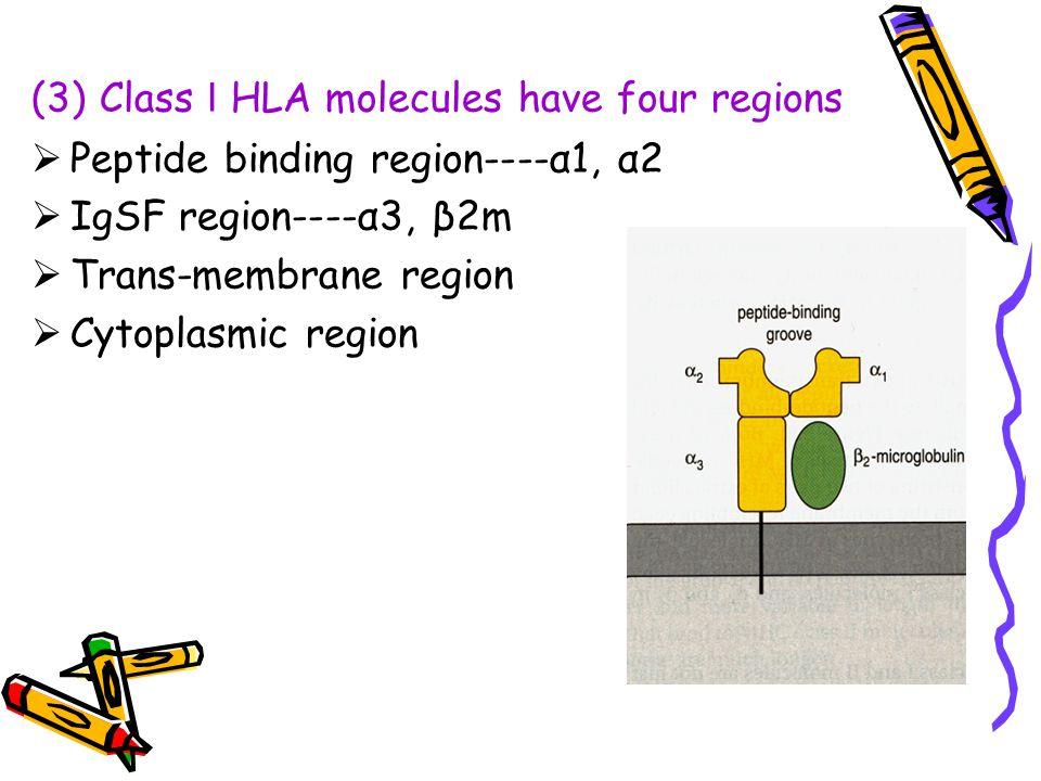 (3) Class Ⅰ HLA molecules have four regions
