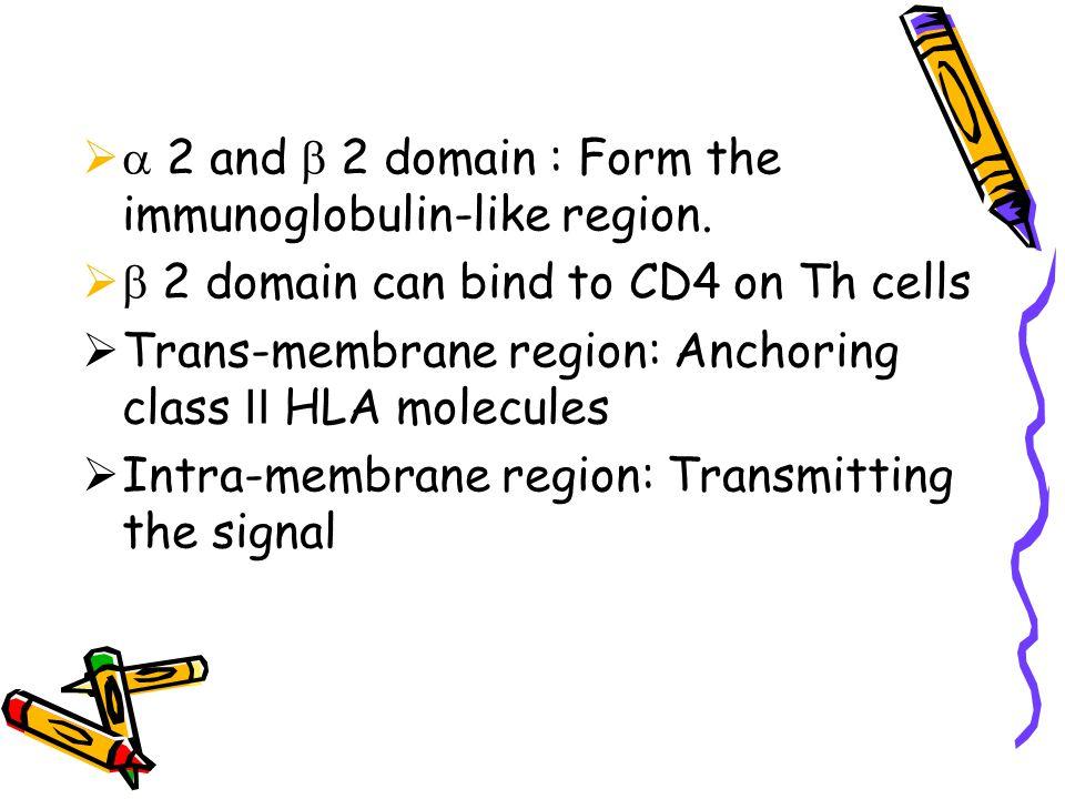  2 and  2 domain : Form the immunoglobulin-like region.