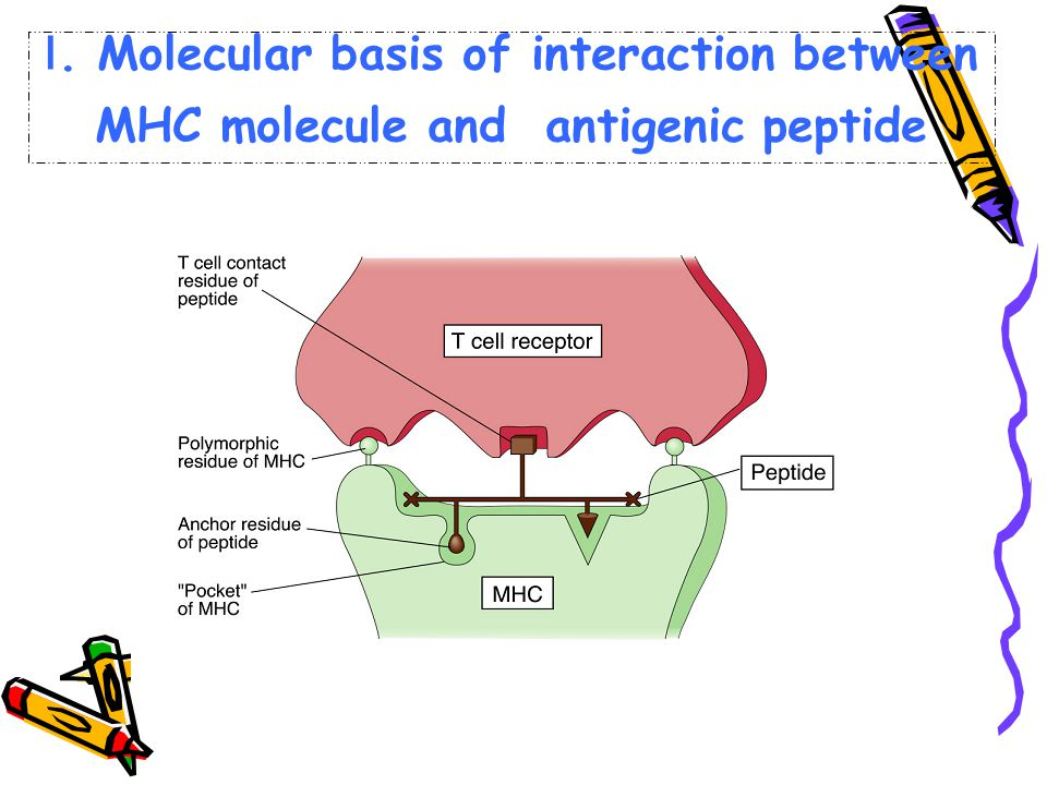 Ⅰ. Molecular basis of interaction between MHC molecule and antigenic peptide