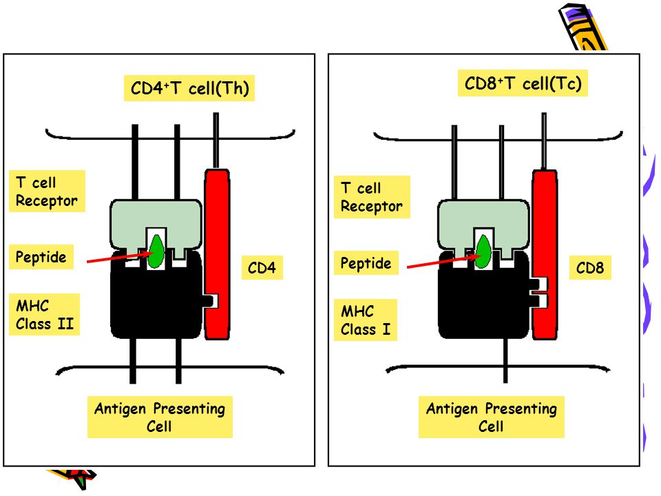 CD8+T cell(Tc) CD4+T cell(Th) T cell Receptor Peptide MHC Class II