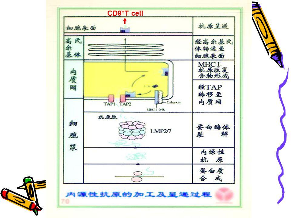 CD8+T cell