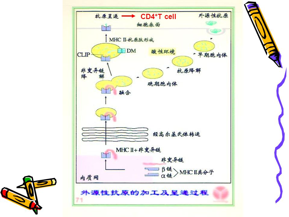 CD4+T cell