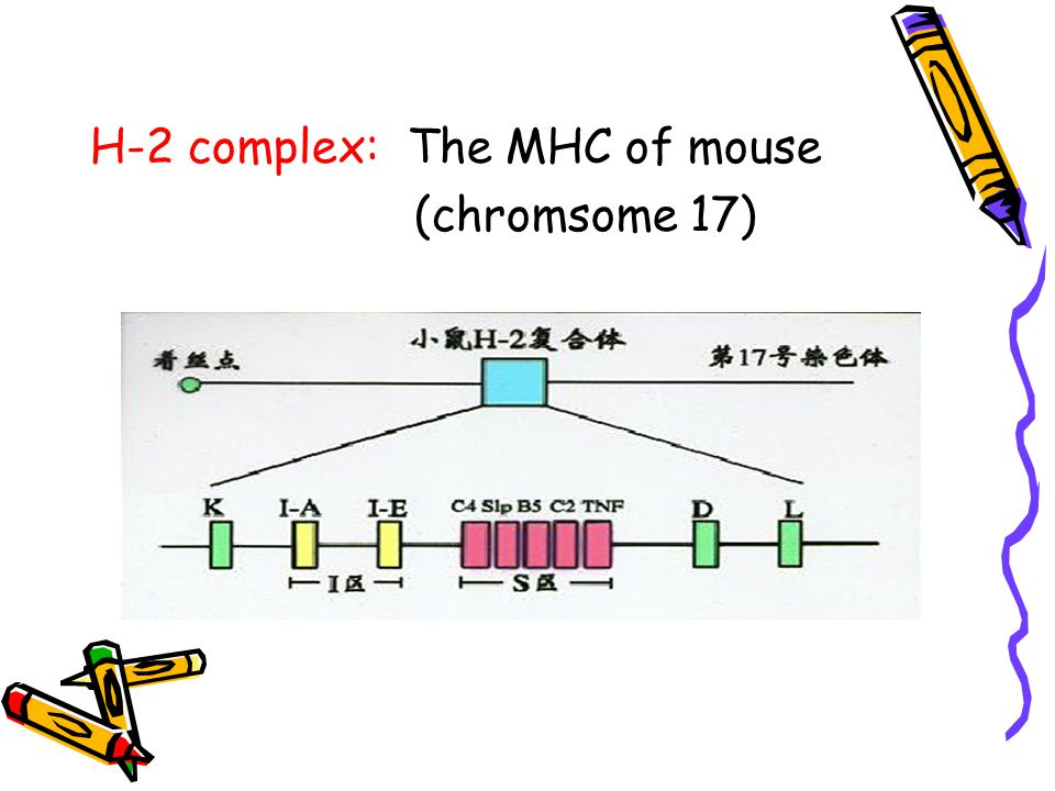 H-2 complex: The MHC of mouse