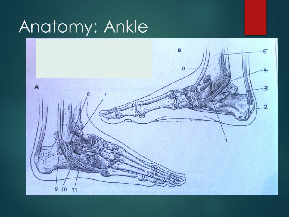 Anatomy: Ankle
