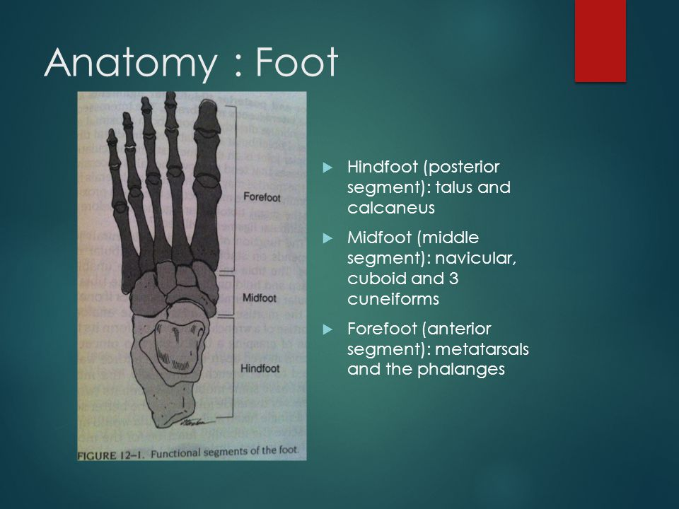 Anatomy : Foot Hindfoot (posterior segment): talus and calcaneus